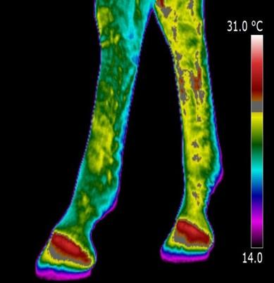 Dressage injuries with Infrared thermography