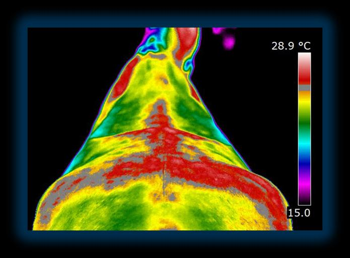 Dressage injuries view with thermography