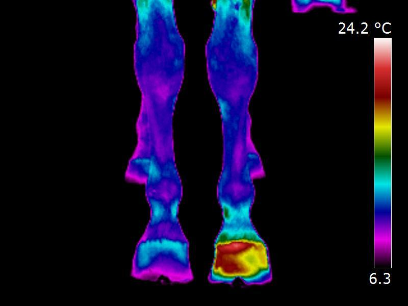 Equine-Infrared-Thermal-imaging