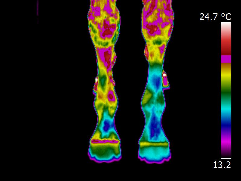 Equine Thermography Tendon injury